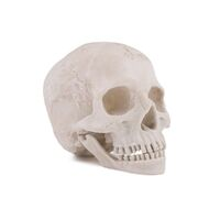 Anatomical Resin Skull with Detached Jaw